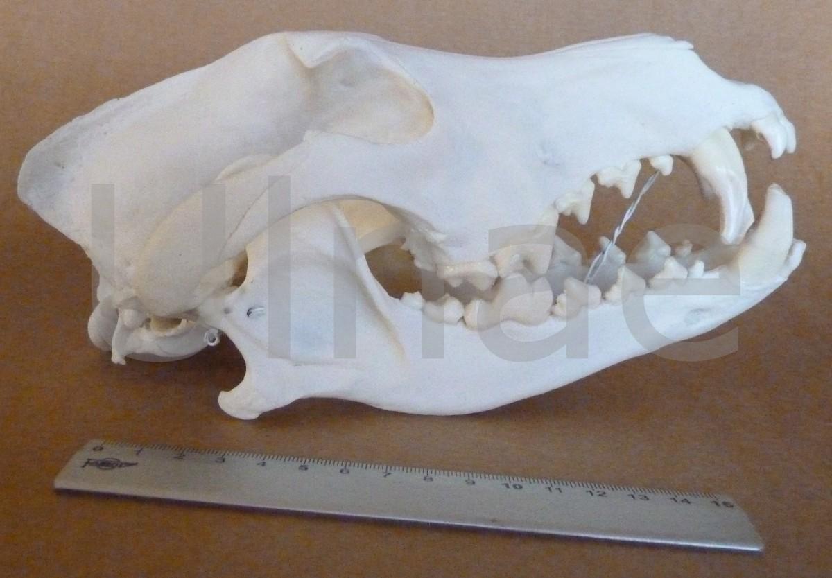 craneo lobo Ulnae Bones