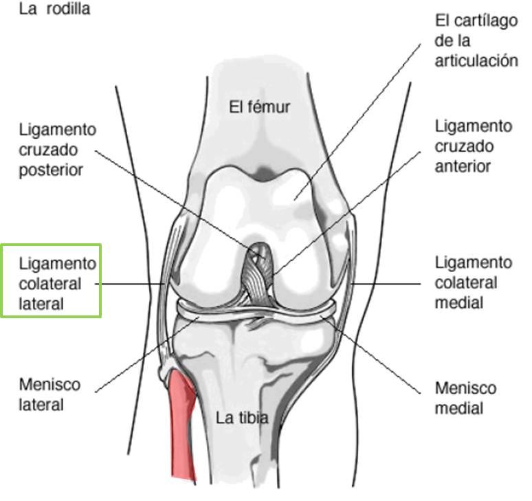 Encantador Ligamento Colateral Lateral Modelo - Anatomía de Las ...