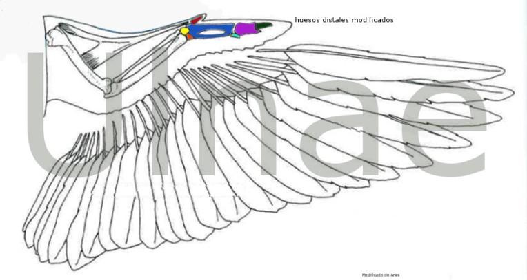 esqueleto aves, ulnae bones