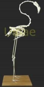 flamenco ulnae bones phoenicopterus roseus