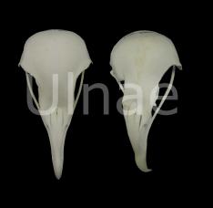 Neophron percnopterus, craneo alimoche