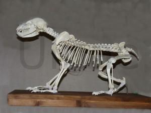 esqueleto montado oso pardo
