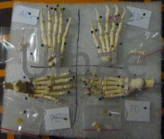 pies oso ulnae bones