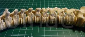 vertebras oso pardo