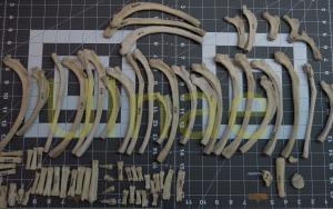 foca esqueleto