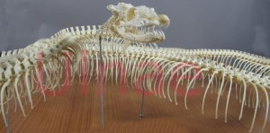 ulnae bones piton montaje esqueleto craneo