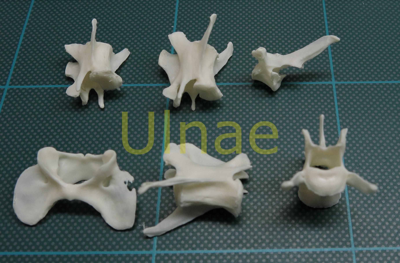 Vértebras « Ulnae Bones