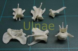 vertebra mamifero