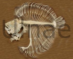 psetta maxima ulnae bones