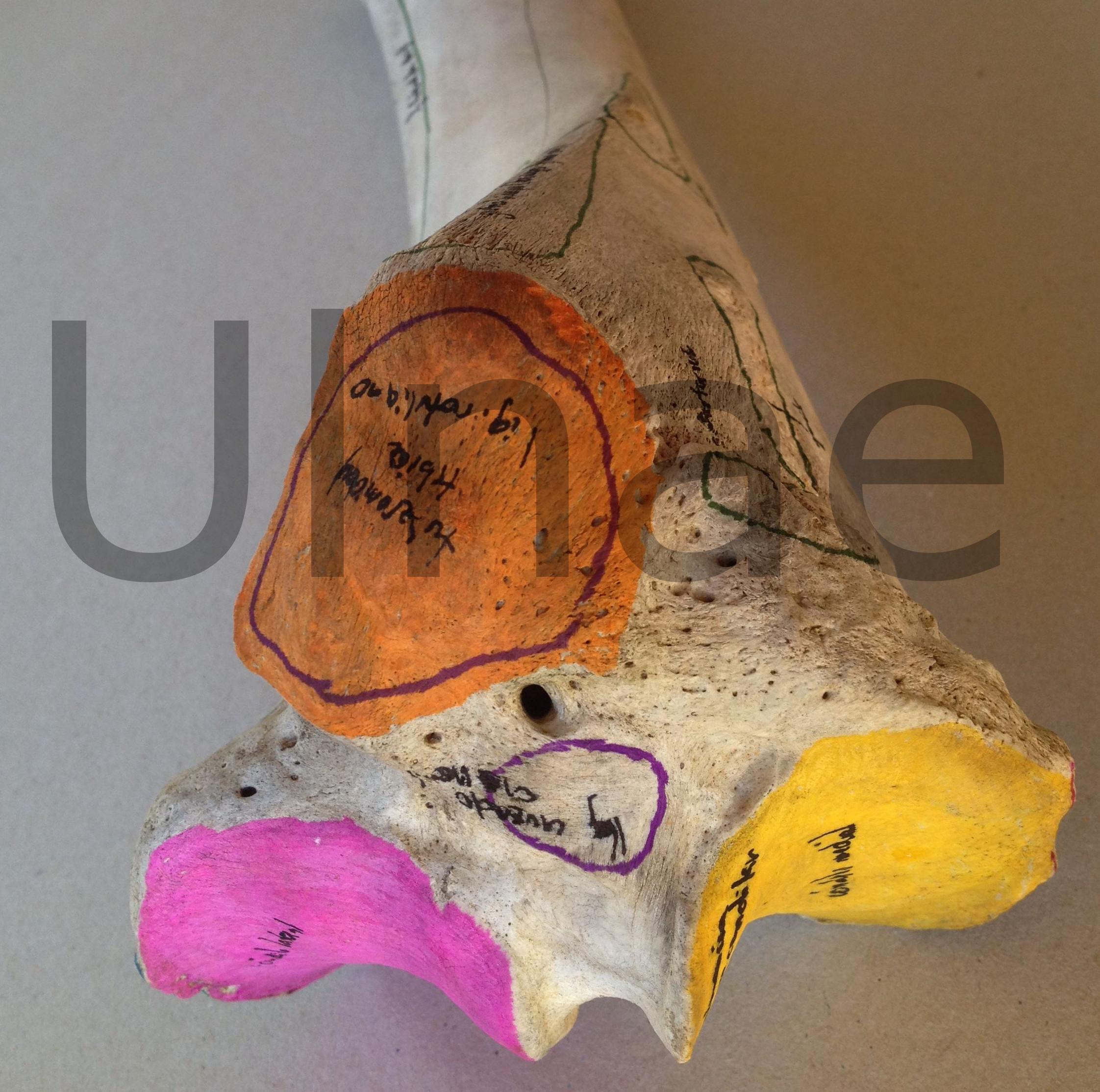 Atlas de inserciones musculares « Ulnae Bones
