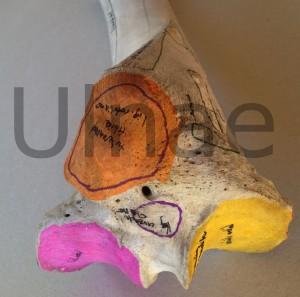 tibia ulnae bones