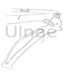 croquis montaje esqueletos ulnae bones