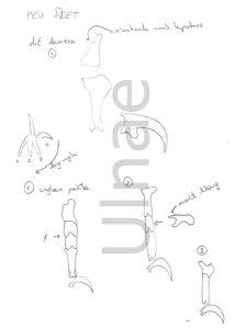 croquis ulnae bones montaje esqueleto culebrera