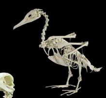 cormoran ulnae bones esqueleto montado