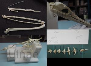 spinosaurus cormoran ulnae bones