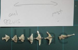 Spinosaurus ulnae bones