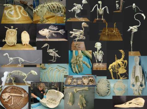 montaje esqueletos ulnae bones