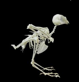 esqueletos aves ulnae bones