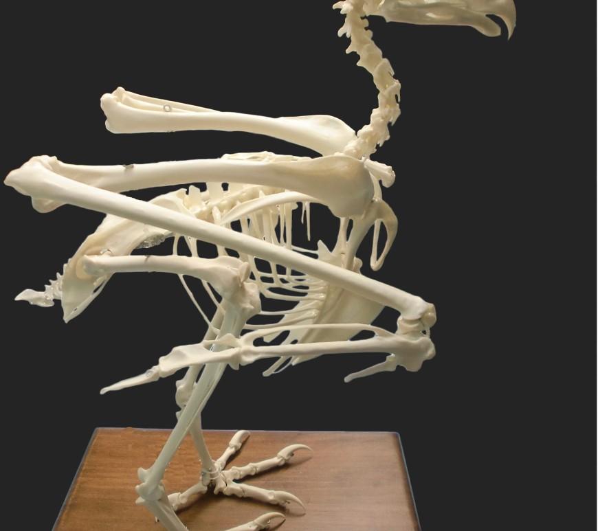 buho rela ulnae bones montaje esqueleto