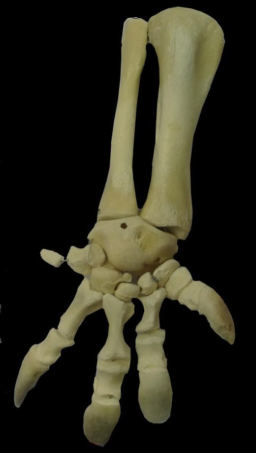 montaje extremidades tortuga ulnae bones
