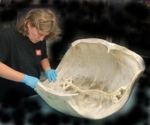Aldabrachelys gigantea caparazon ulnae bones