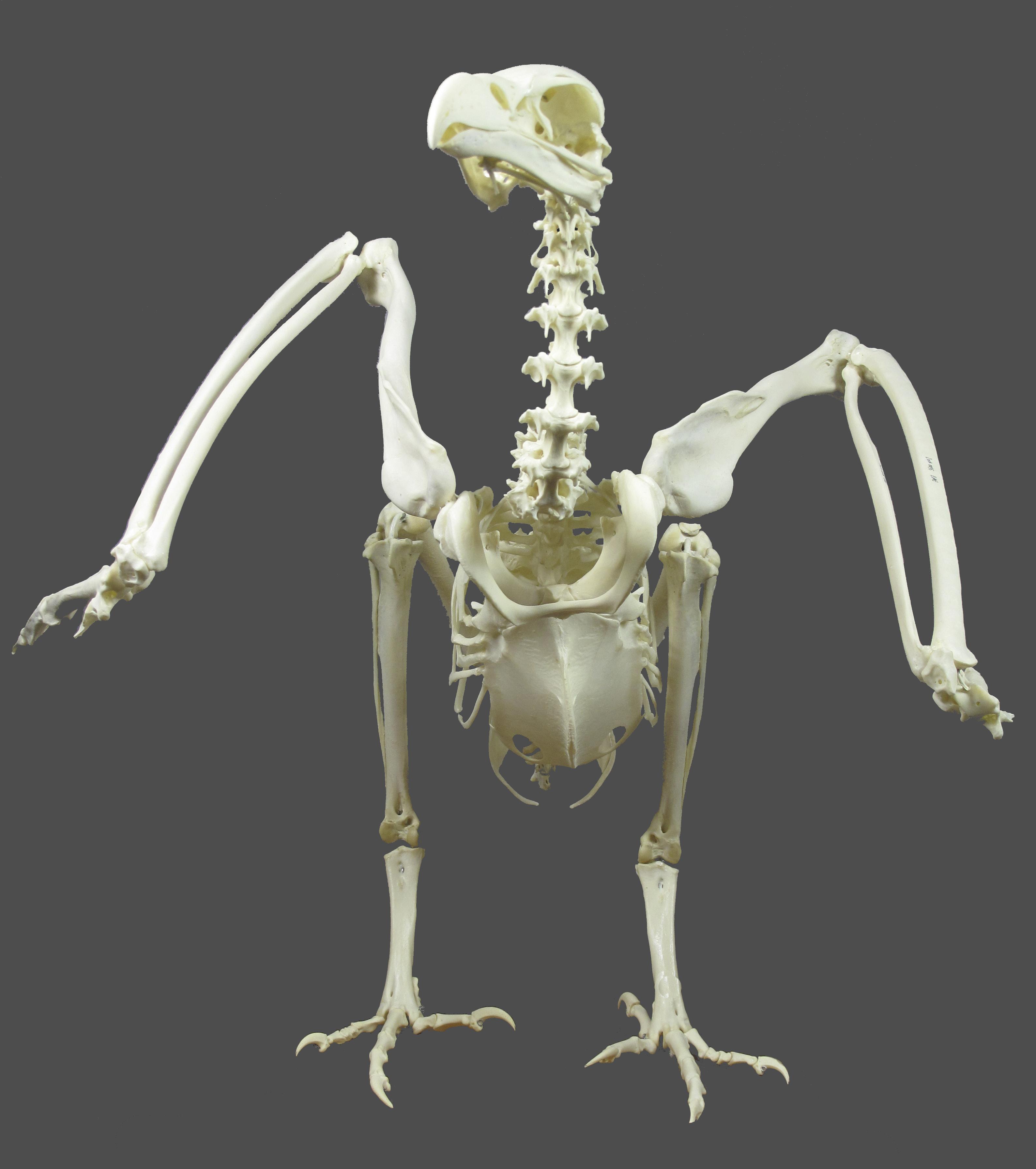 Aves « Ulnae Bones