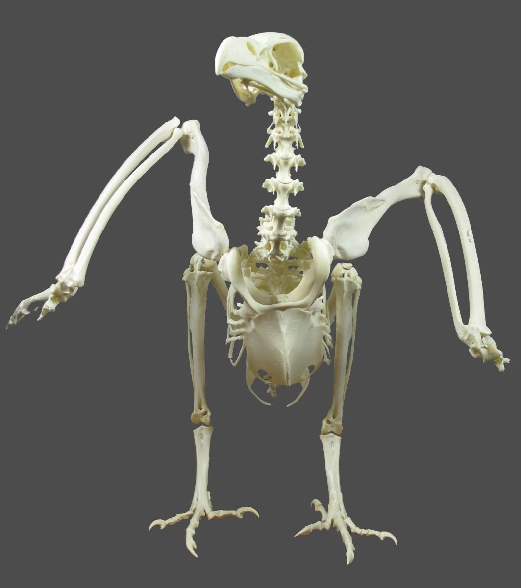 gyps fulvus esqueleto montado ulnae bones