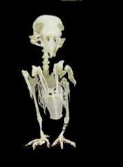 loxia curvirostra ulna bones montaje esqueleto