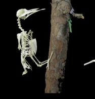 picus viridis esqueleto montado ulnae bones