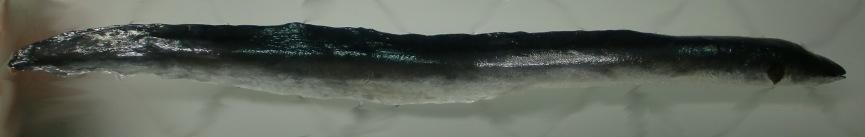 anguila naturalizacion ulnae bones