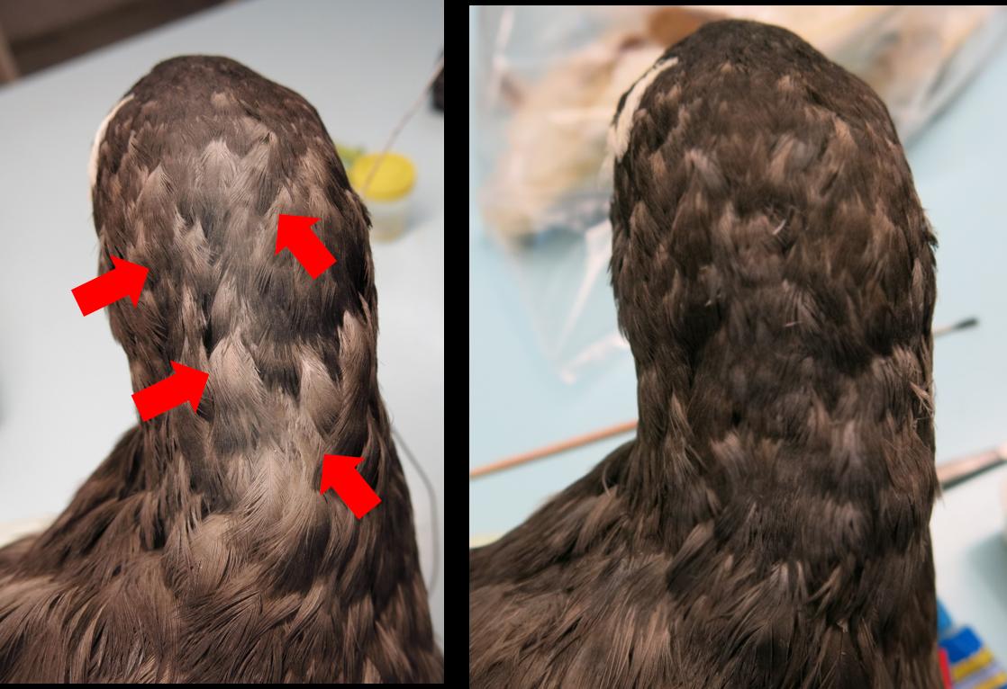 procellaria insercion plumas ulnae bones