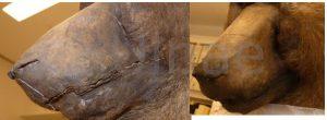 ulnae bones restauracion taxidermia macba