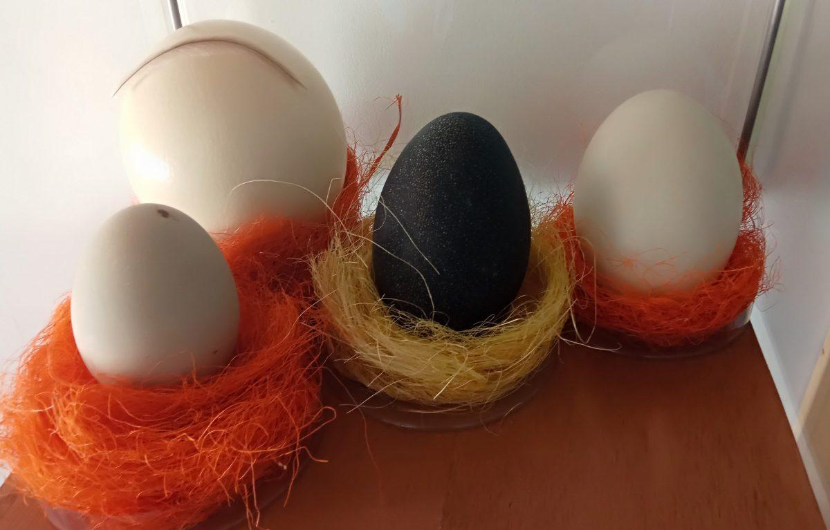 huevos avestruz, emú, cisne y ñandu ulnae bones