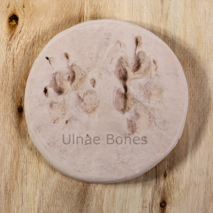 huellas lobo ulnae bones replica