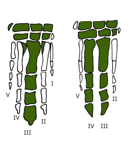 artidactilos ulnae bones