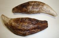 ursus spelaeus ulane bones
