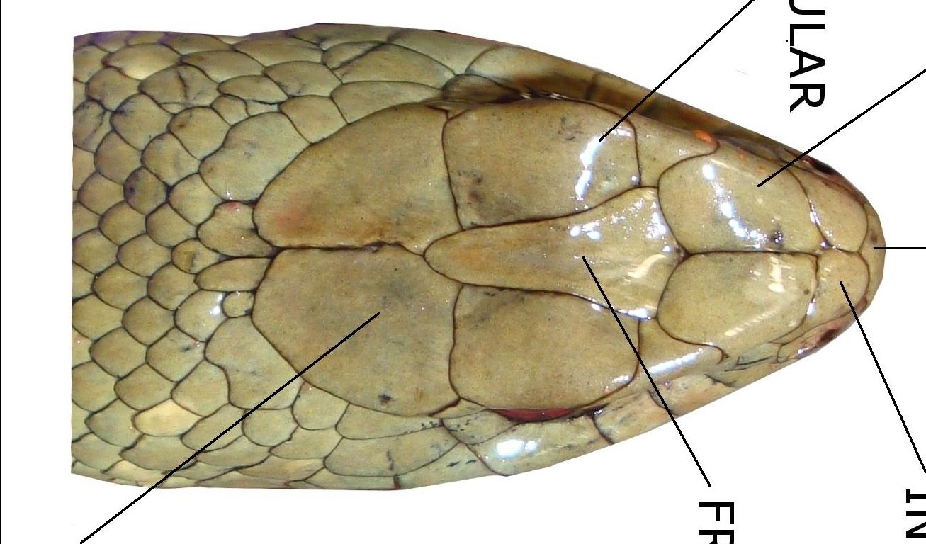 ulnae bones escamas malpolon