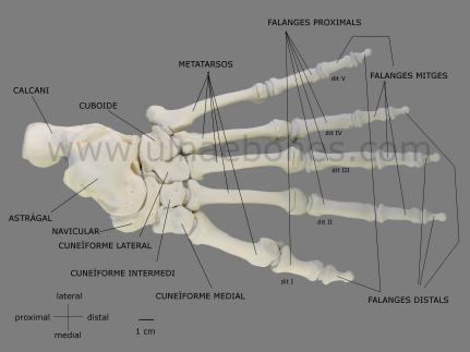 pie gorila ulnae bones atlas osteologico
