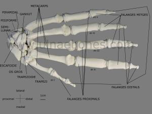 mano gorila ulnae bones atlas osteologico