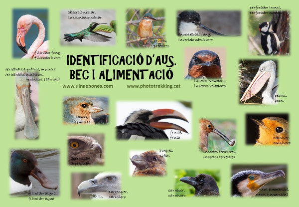 lamina identificar picos aves ulnae bones