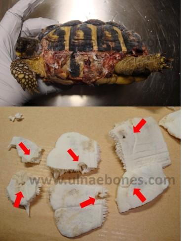 testudo hermanni ulnae bones depredacion tejon