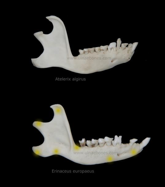 mandibula erizo anatomia ulnae bones