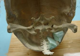 esqueleto montado ulnae bones tortuga