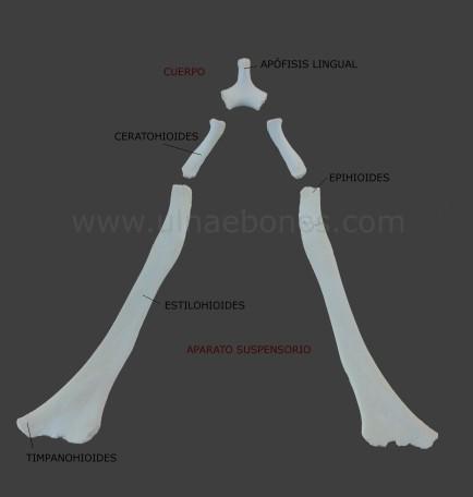 ulnae bones hueso hioides atlas osteologico