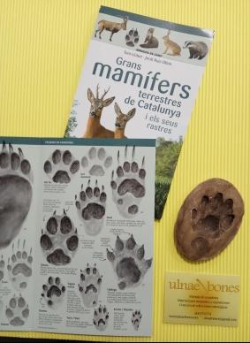 ulnae bones huellas mamiferos nutria mamifers petjades repliques