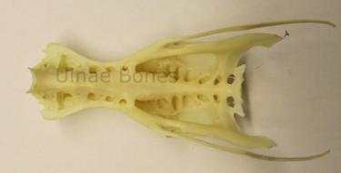 ardea cinerea ulnae bones esqueleto skeleton bernat pescaire
