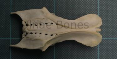 alimoche aufrany ulnae bones esqueleto skeleton