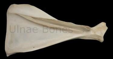 ciervo cervol ulnae bones esqueleto skeleton