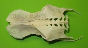 cigueña ciconia ulnae bones esqueleto skeleton