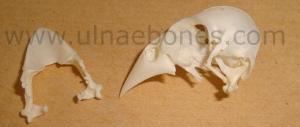 ulnae bones esqueleto skeleton durbec picogordo